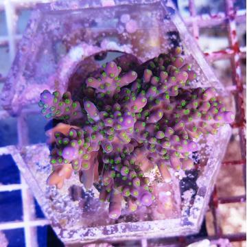 Acropora tricolore