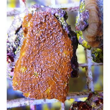 Echinophylia sp