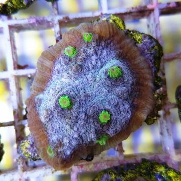 Echinophylia sp.