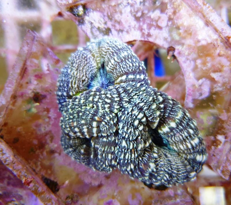 Lobophylia sp.
