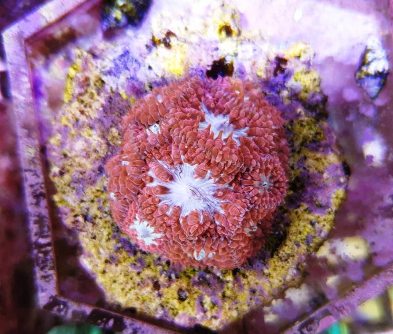 Blastomuss merletti