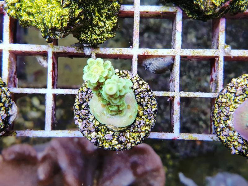 Acropora microcladus shorcake