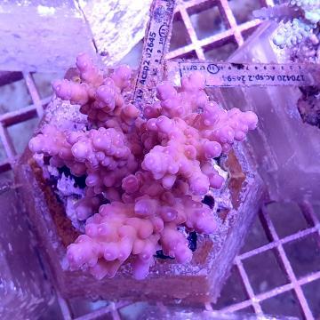 Acropora sp.
